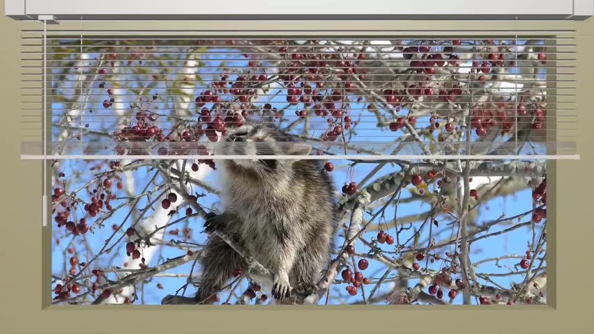 Animation of a blind curtain incorporating live picture of a scene where raccoons cling to branches and eat tree nuts