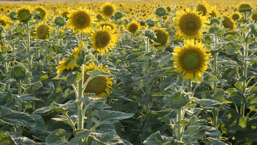Sunflower background at summer close-up  3840X2160 UltraHD footage - Sunset over Helianthus plant field 3840X2160 UHD video   Shutterstock HD Video #29766178
