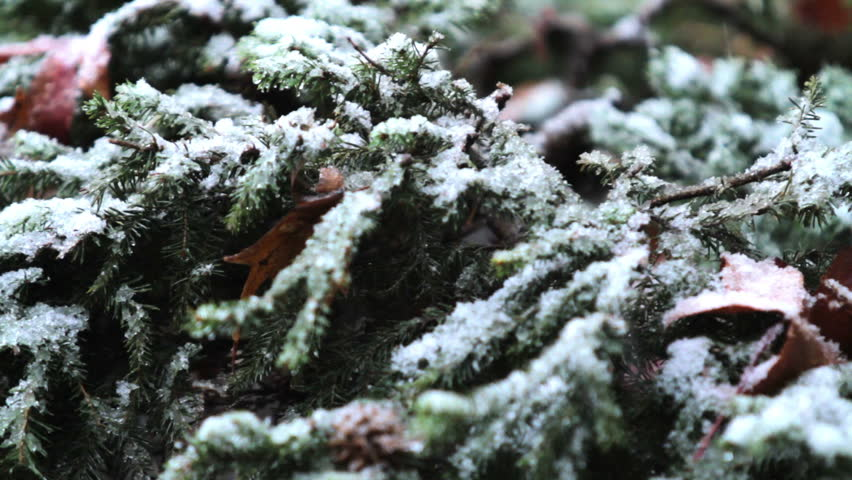 Snow Falls on Green Bush