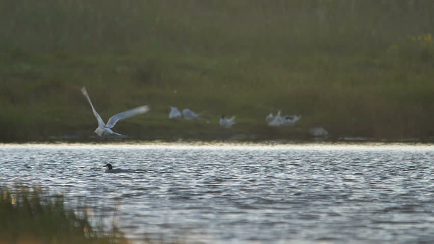 Arctic tern bird shaking off water while flying, Iceland wetlands slow motion
