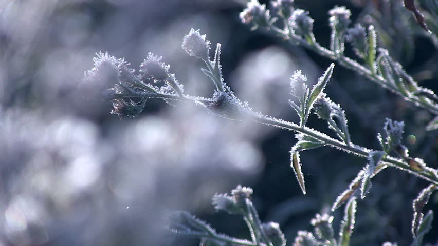 Close up rack focus of frosty plants.