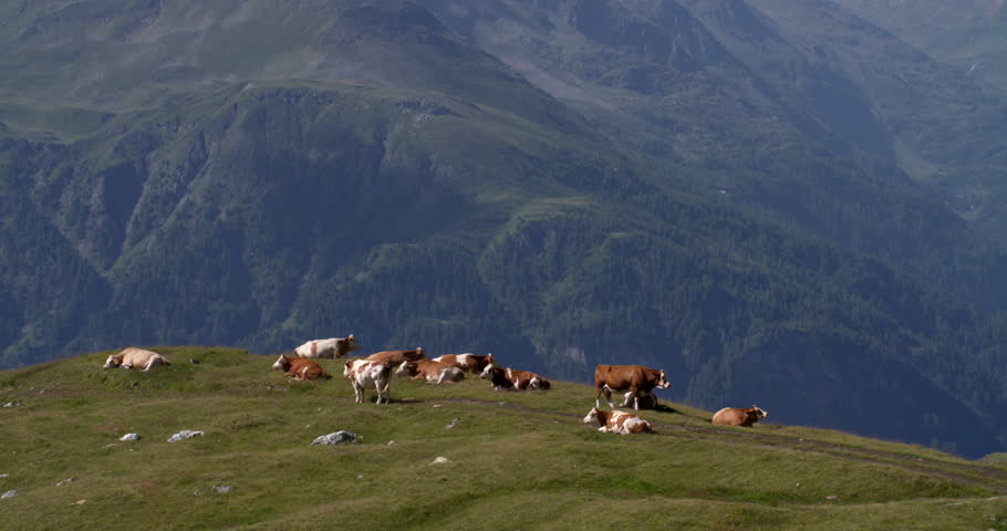 Austrian cows at beautiful Grossglockner Strasse Alps, high mountains landscape, Austria agriculture 4K