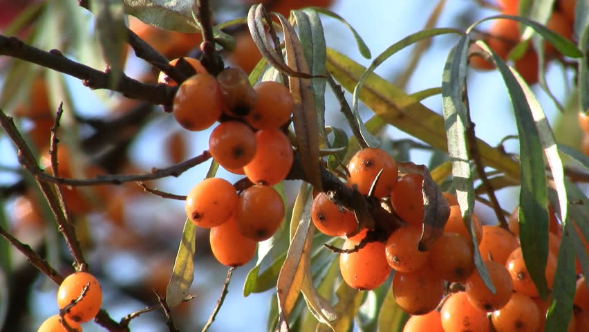 Sea-buckthorn berries on shrub close-up HD 1080p