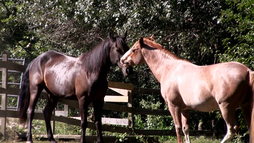HD 1080 24p; Two horses flirt and play in sunlight on farm with wooden fence corral and tree backdrop