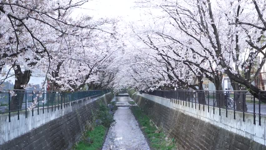 Cherry blossom with snow dancing in the wind