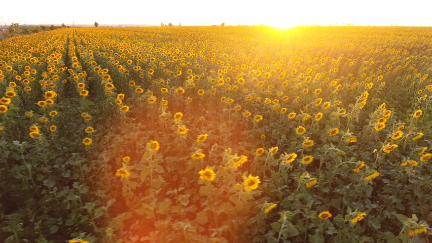 Amazing bird`s eye view of a huge sunflower field in Ukraine at sunset in summer. The landscape with rows of sunflowers, and their yellow petals looks picturesque