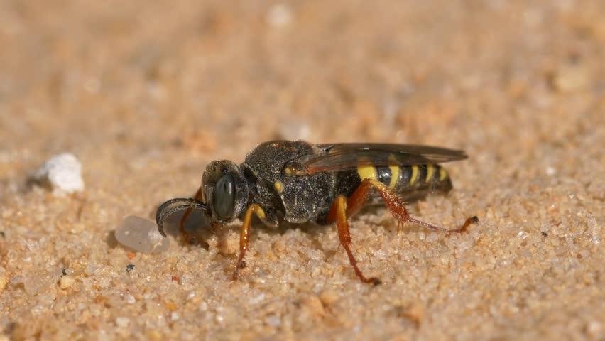 Header of crabronidae