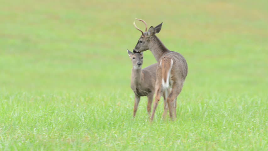 A small white-tailed deer buck grooms a fawn in an open meadow