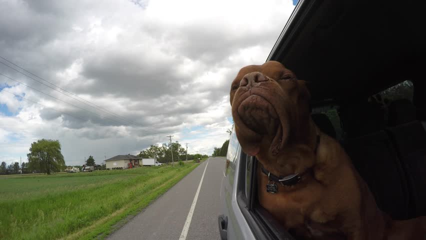 Adventurous french mastiff jowls flapping car ride   | Shutterstock HD Video #30046588