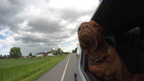 adventurous french mastiff jowls flapping car ride