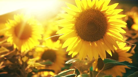 Sunflower field during sunset, Tilt up camera, Amazing beautiful backgound