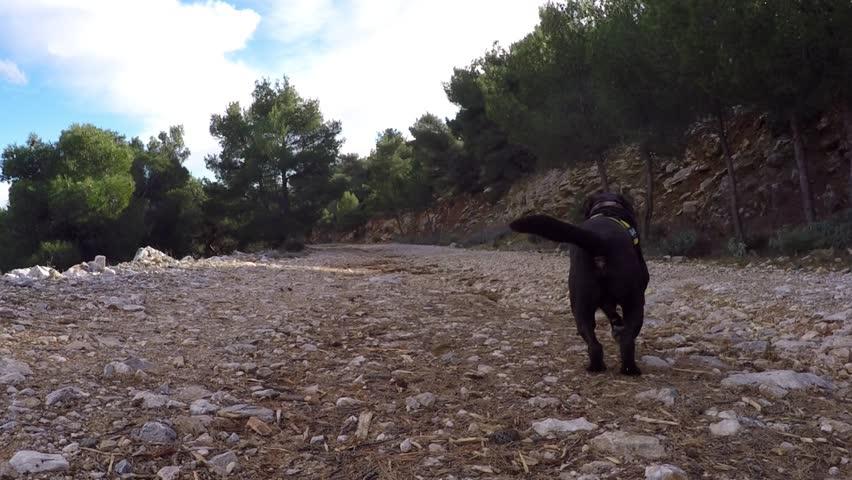 Dog Labrador  runs and brings his toy