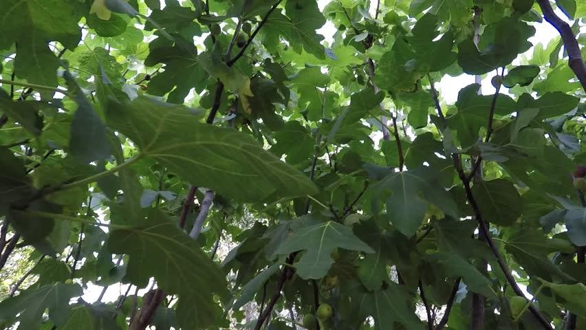 Header of fig tree