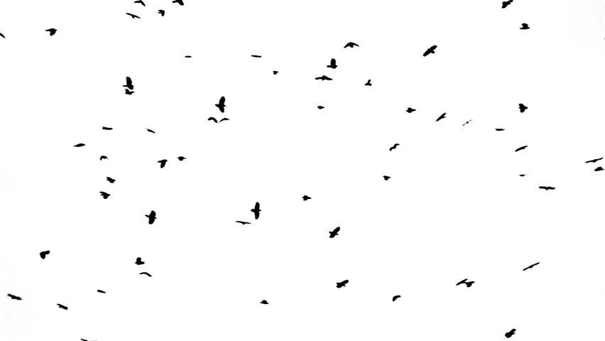 Header of crow