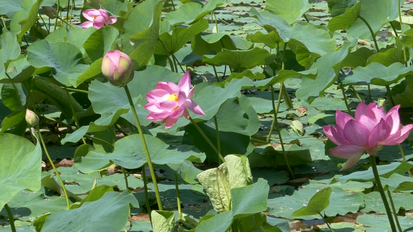 Scenic lotus flower farm in cambodia royalty free video pink lotus flowers blooming in large green leaves and landscape with buds blooming a mightylinksfo