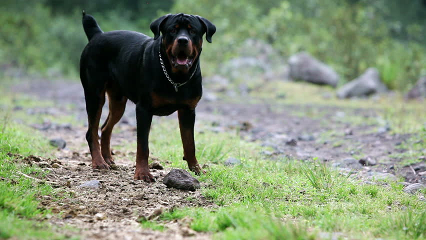 One year old rottweiler playing with a rock, barking and growling
