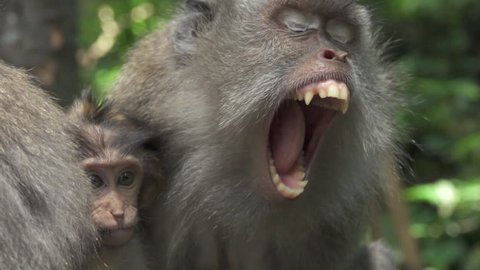 BLURRY - FOCUSED CLOSE UP Detail of teeth, fangs and tongue inside the opened mouth of an angry protective mother macaque in Sacred Monkey Forest Sanctuary, Ubud, Bali. Baby monkeys and female yawning