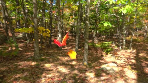 SLOW MOTION CLOSE UP: Red fall foliage falling off in autumn forest on sunny day. Red maple leaves falling slowly towards the ground in sunny fall. Colorful autumn trees shedding their leaves in fall