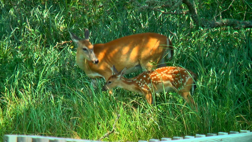 A tender scene of a mother whitetail deer grooming her newborn fawn and the baby grooms her in response