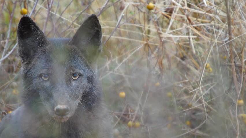 Rare black Coyote in Georgia