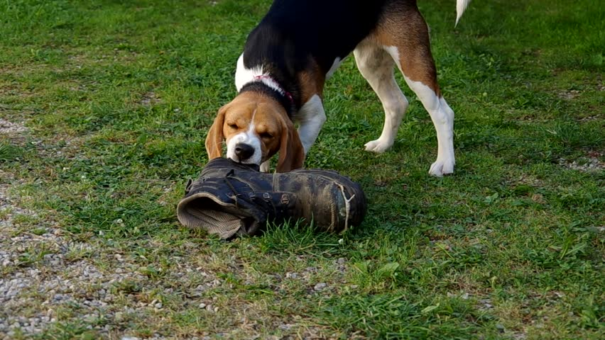 Must see Toy Beagle Adorable Dog - 1  Pic_607450  .resize(height:160)