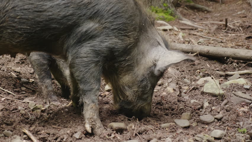 Two wild boars graze in the forest. Wild life of the forest