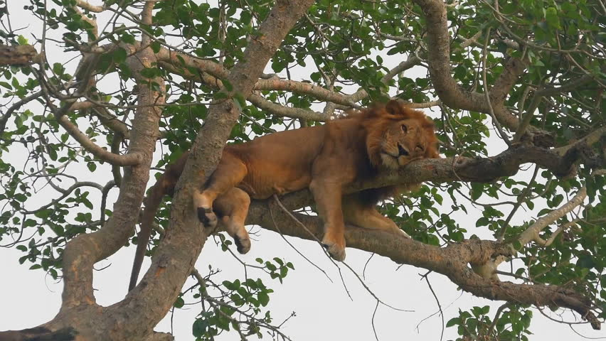 Lion resting on a tree. (East Africa, Uganda)