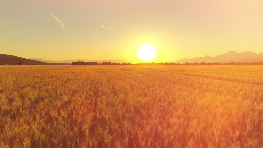 AERIAL, CLOSE UP, LENS FLARE: Flying above beautiful rural autumn landscape with endless golden wheat field at dreamy sunset. Cereal plantation on agricultural farm in mountainous landscape at sunrise | Shutterstock HD Video #30367198