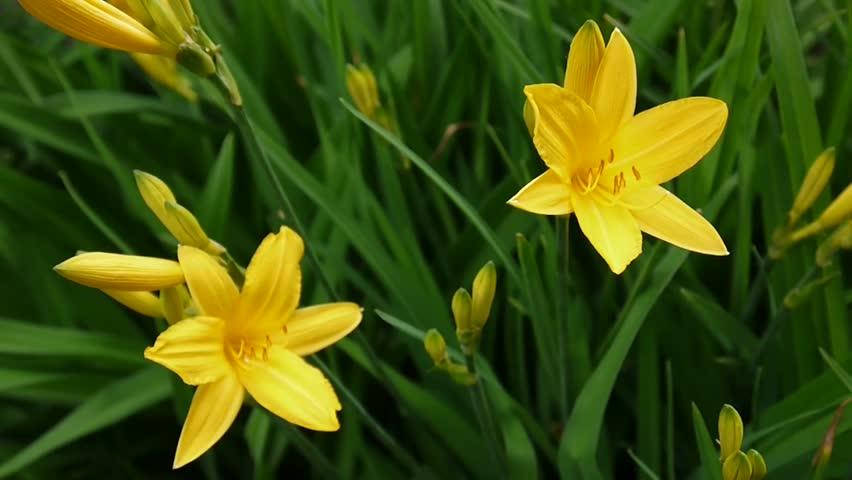 Flowering yellow daylilies in the garden | Shutterstock HD Video #30377308