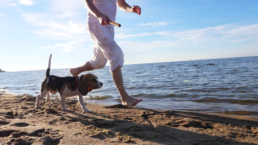 Man run with cute young beagle on beach, toss stick, dog rush forward, slow motion tracking shot. Guy play fetch game with small dog at sunny shore of lake. Long funny ears of puppy fly in air | Shutterstock HD Video #30454648
