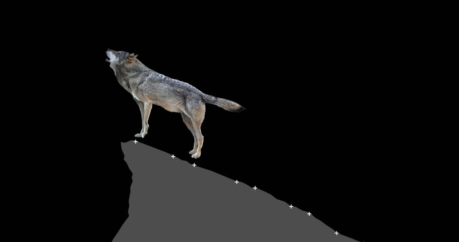 Gray wolf howling. An isolated wolf rises to a rock and howls. Animation includes an alpha channel. Version static camera.