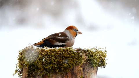 Hawfinch sitting under the snow on the bird feeder and eats the seeds.