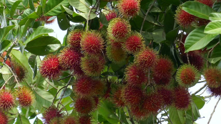 Ribe rambutan fruit growing on tree in Can Tho city, Viet Nam. Clip 4k high resolution