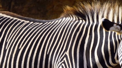 Detail of skin on a Grevy`s Zebra, Cabarceno Natural Park, Pisuena Valley, Municipality of Penagos, Cantabria, Spain, Europe