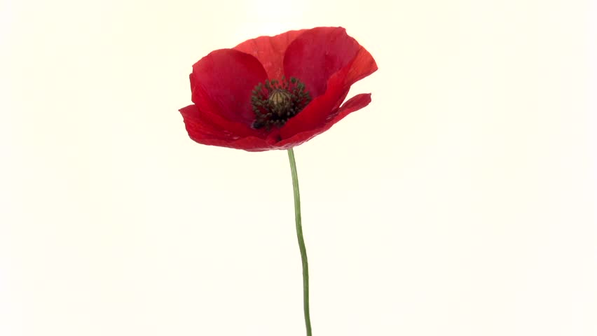 Poppy Red Poppy Flower Blooming Stock Footage Video 100 Royalty
