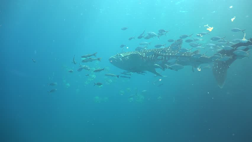 The whale shark slowly floats in the blue water. She meets the second shark and swims after her. | Shutterstock HD Video #30797008