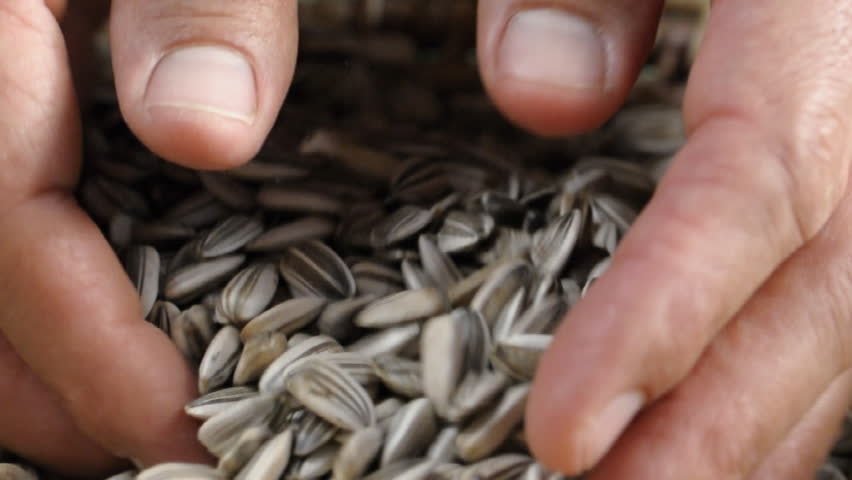 Closeup of man scooping sunflower seeds with two hands