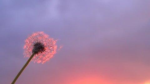 Dandelion seeds. The wind blows away dandelion seeds. Dandelion seeds beautifully spin in the sun. Slow motion 240 fps. High speed camera shot. Full HD 1080p. Slowmo