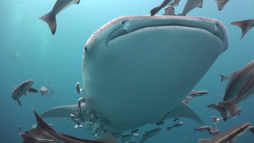 Whale shark from below. Very close up  Sail Rock/Gulf of Siam/Thailand/ Camera Sony AX100 with Gates Underwater Housing | Shutterstock HD Video #30878998