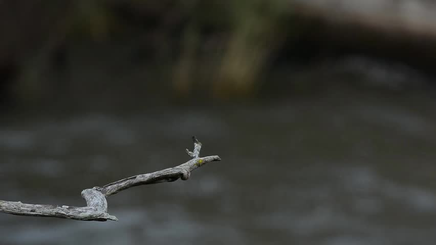 Kingfisher ( Crested Kingfisher ) standing on the branch wait catching a fish