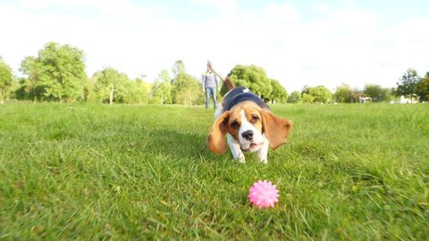 Small beagle chase and catch by jaws toy rolling on grass, slow motion shot in front of doggy. Young dog play at walk, train fetch command by running and bring back small ball.