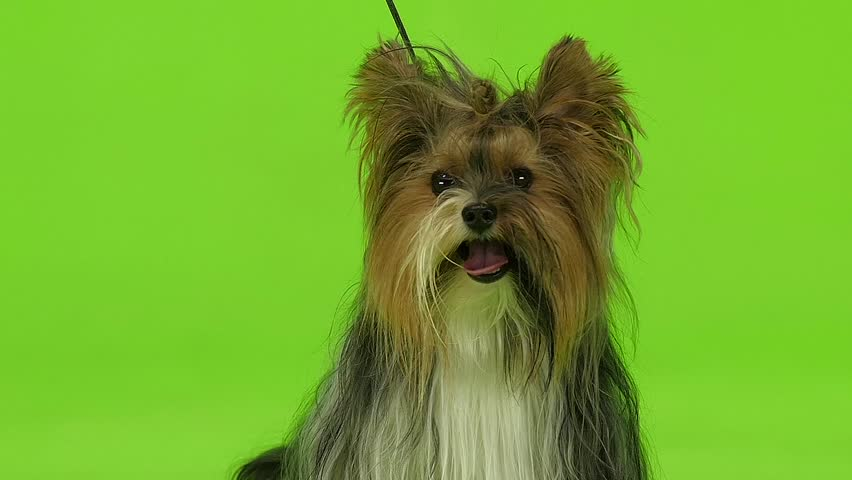 Dog looks around. Green screen. Slow motion | Shutterstock HD Video #30933934