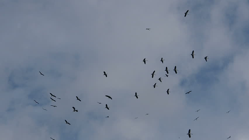Flock of birds  fly in the sky.