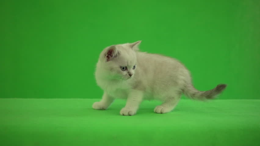 funny British kitten walking on green background #30960928