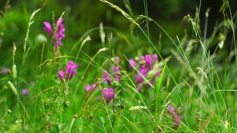 Flowers in springtime, Ordesa y Monte Perdido National Park, Sobrarbe,Huesca province, Aragon, Spain, Europe