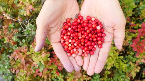 Young Female Hands with a Handful of Ripe Cranberries. Healthy Organic Harvest in Autumn Scandinavian Forest. 4K, Slowmotion.