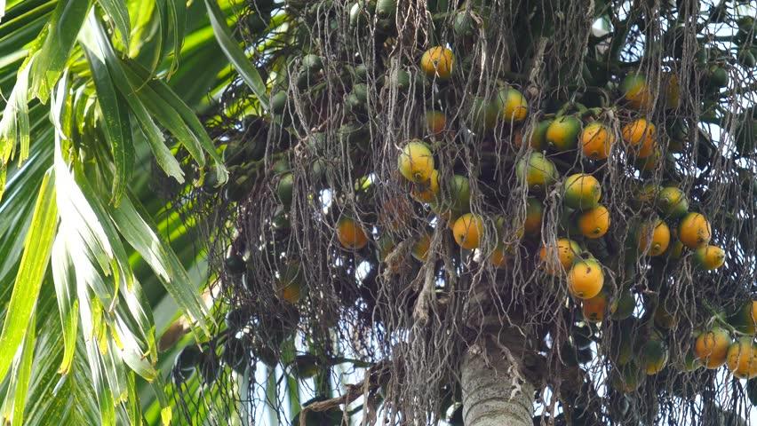Header of areca nut