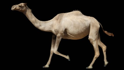 Camel running trot. Animal isolated for your background. Alpha channel is included.