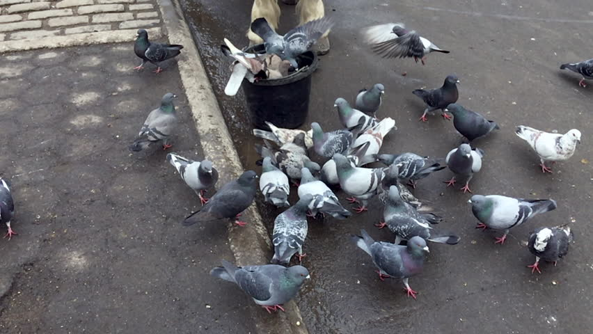 New York City pigeons eating from the feed bucket of a horse in Central Park | Shutterstock HD Video #30986371