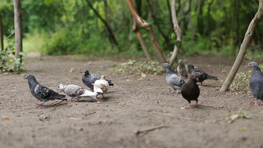 Flock of pigeons sitting and flying in nature park | Shutterstock HD Video #30993598